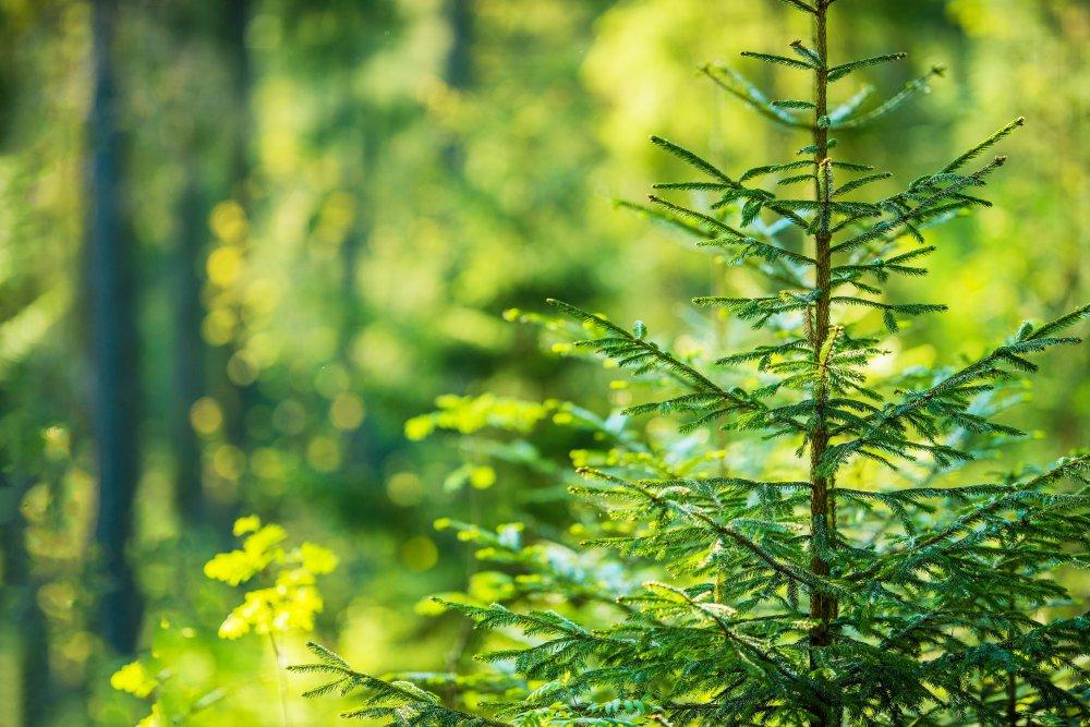 jehličnatý strom